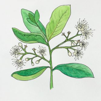 Bay West Indian Essential Oil