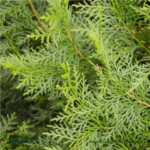 Cypress (White) Essential Oil