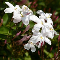 Jasmine Absolute Essential Oil Pure