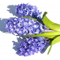 Hyacinth Absolute Essential Oil