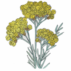 Helichrysum (a.k.a Everlasting or Immortelle) Essential Oil