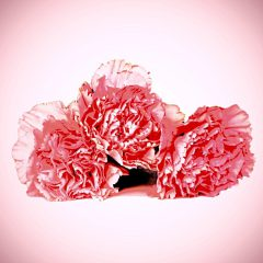 Dianthus Fragrance