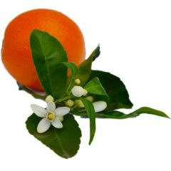 Neroli (Orange Blossom) Essential Oil Pure