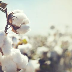Cotton Fragrance